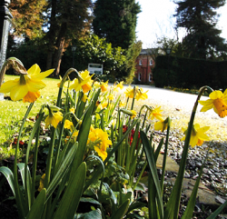 beautiful bunch of daffodils planted in the grounds of the Bartle Hall Country Hotel